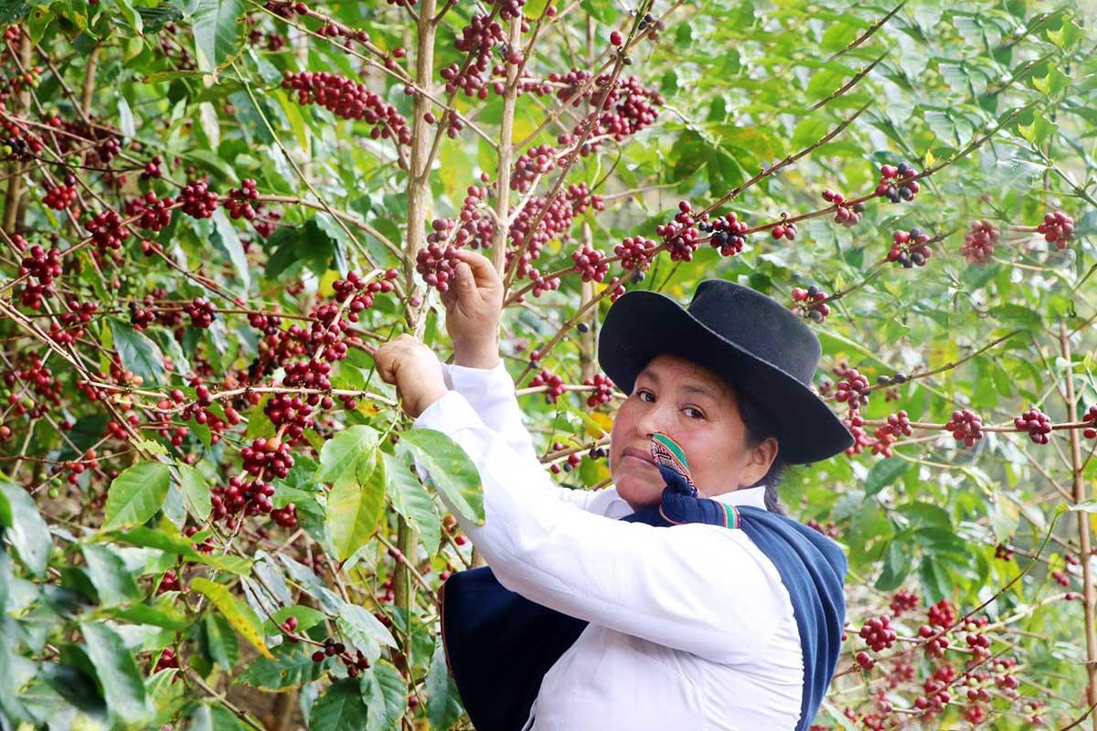 El mejor café del Perú es del Cusco