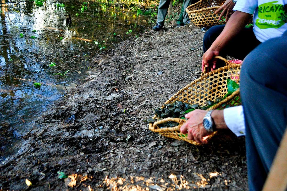 Grupo AJE y Municipalidad de Maynas liberaron 1,040 crías de Taricaya en el río Nanay
